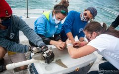 Dr. Kristine Stump teaches Lindsay Gould '21 how to correctly catch and tag sharks on Biscayne Bay